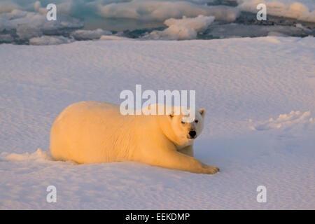 Polar bear (Ursus maritimus / Thalarctos maritimus) resting on pack ice at sunset, Svalbard, Norway - Stock Photo