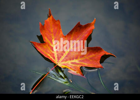 Maple leaf isolated close up floating on water. - Stock Photo