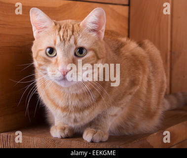 Orange tabby cat resting on rustic wooden steps - Stock Photo