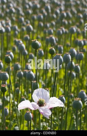 Opium poppy field [Papaver somniferum], single white flower and seed heads, England, UK - Stock Photo