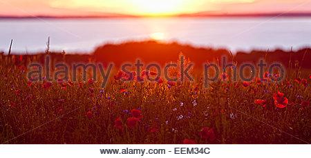 Field of poppies in the evening sun, Rügen, Mecklenburg-Western Pomerania, Germany - Stock Photo