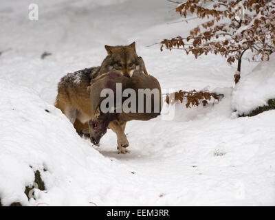 Wolf (Canis lupus) with a captured deer, captive, Bavarian Forest National Park, Grafenau, Bavaria, Germany - Stock Photo