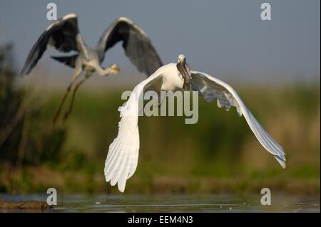 A Great Egret (Ardea alba), taking off with a fish in its beak, is followed by a Grey Heron (Ardea cinerea) - Stock Photo