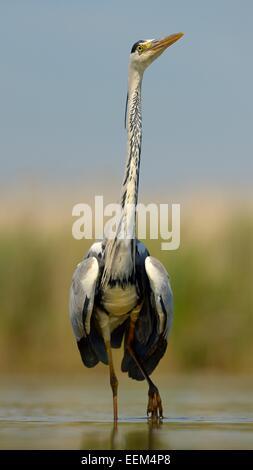 Grey Heron (Ardea cinerea), adult bird displaying, Kiskunság National Park, Southeastern Hungary, Hungary - Stock Photo