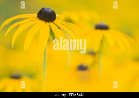 Sullivant's Coneflower (Rudbeckia sullivantii), Berlin, Germany - Stock Photo