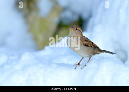 House Sparrow (Passer domesticus), female, standing in snow, Switzerland - Stock Photo