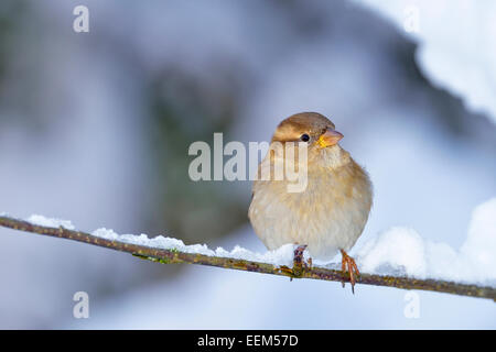 Young House Sparrow (Passer domesticus), female, sitting on twig, Switzerland - Stock Photo