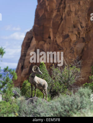 Desert Bighorn Sheep (Ovis canadensis nelsoni), Colorado National Monument, Grand Junction, Colorado, United States - Stock Photo