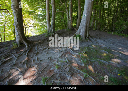 Roots of beech trees on the cliff path, forest in the Jasmund National Park, Rügen, Mecklenburg-Western Pomerania, - Stock Photo
