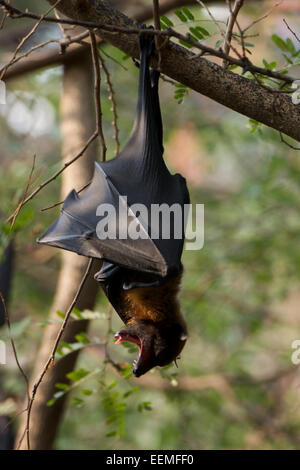 Lyle's flying fox (Pteropus lylei) is a species of bat in the family Pteropodidae. - Stock Photo