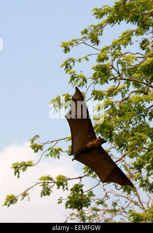 Lyle's flying fox (Pteropus lylei) is a species of bat in the family Pteropodidae. It is found in Cambodia, Thailand, - Stock Photo