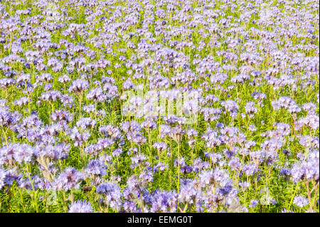 Field of purple wildflowers in green flowerbed for honey bees - Stock Photo