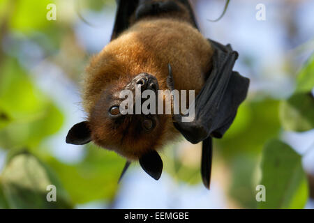 Pteropus lylei - Lyles Flying Fox, Thailand. - Stock Photo