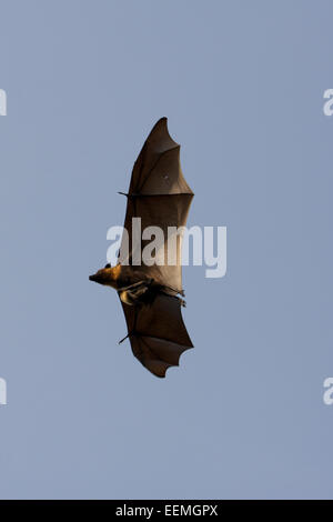 Lyle's flying fox (Pteropus lylei) is a species of bat in the family Pteropodidae. It is found in Cambodia, Thailand - Stock Photo