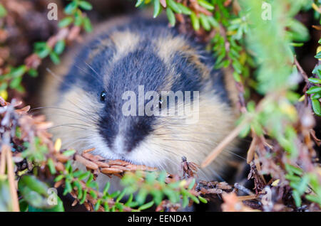 Lemming, Lemmus lemmus (Berglemming, Norway lemming, Norwegian lemming), im Naturreservat Rogen, Haerjedalen, Schweden, - Stock Photo