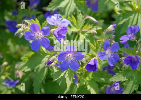 Blue geranium flowers - Stock Photo