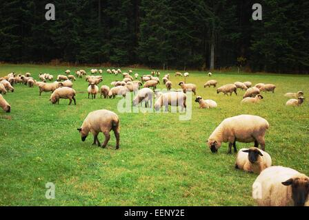 Sheep on grassland in the day - Stock Photo