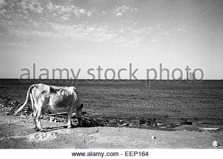 A cow and  oil platforms on Caspien sea, Baku, Azerbaijan. - Stock Photo