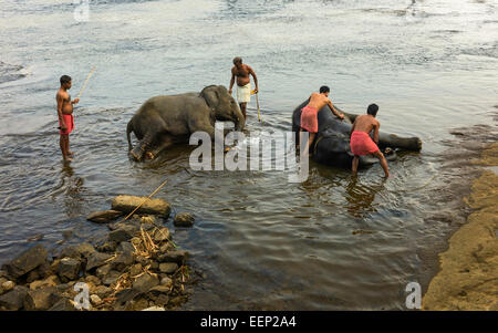 Trainers bathe young elephants at dawn in the river Periyar near Ernakulum, Kerala, India. - Stock Photo