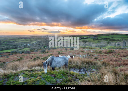 Moorland ponies grazing on Caradon Hill near the Minions on Bodmin Moor in Cornwall - Stock Photo