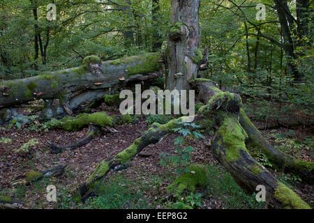 Dead Beech tree in a primeval forest, Sababurg, Germany - Stock Photo