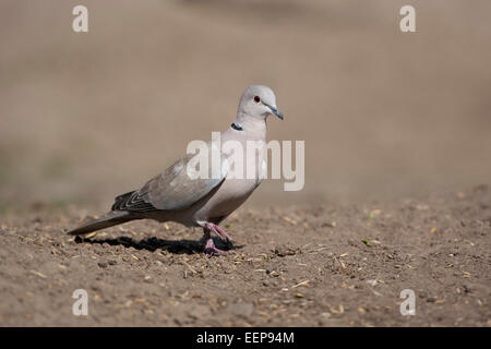 Türkentaube / Streptopelia decaocto / (Eurasian) collared dove [Streptopelia decaocto] - Stock Photo