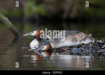 Haubentaucher  / Podiceps cristatus / great crested grebe [Podiceps cristatus] - Stock Photo