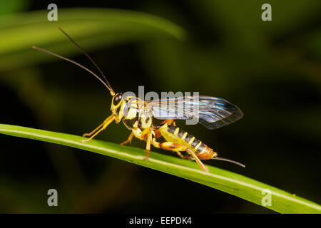 The Ichneumonidae are a family within the order Hymenoptera. Insects in this family are commonly called ichneumon - Stock Photo