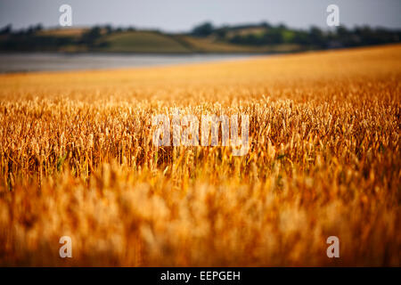 wheat growing in a field in county down northern ireland - Stock Photo