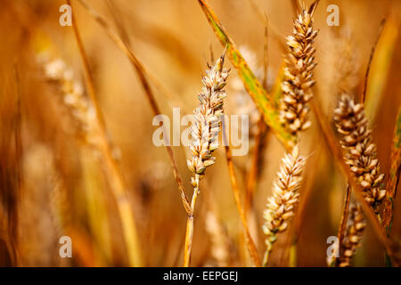 wheat growing in a field - Stock Photo