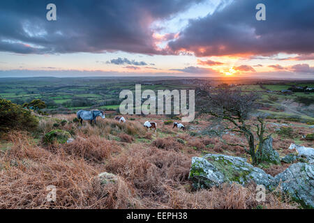 Moorland ponies at sunset on Caradon Hill near the Minions on Bodmin Moor in Cornwall - Stock Photo