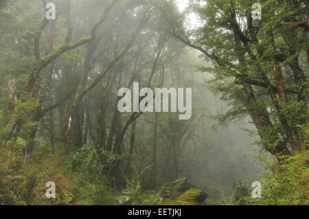 Misty Beechwood Forest on the Routeburn Track, New Zealand. - Stock Photo