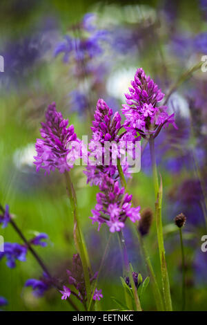 Group of pyramidal orchids Anacamptis pyramidalis in a wildflower meadow - Stock Photo