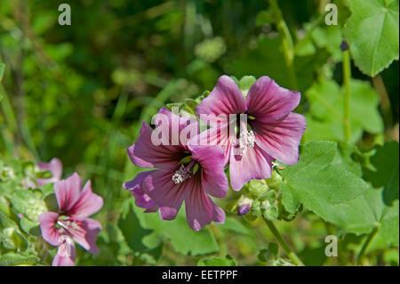 Common mallow, Malva sylvestris, flowering on wasteland in Sorrento, Italy, May - Stock Photo