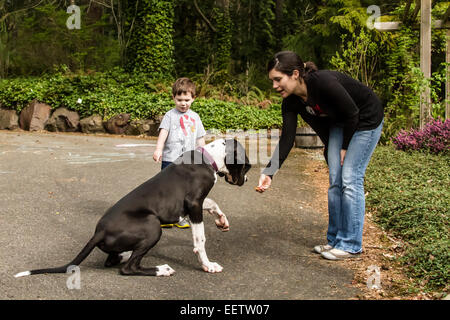 Six month old Great Dane puppy, Athena, being trained to do the 'shake' command, in Issaquah, Washington, USA - Stock Photo