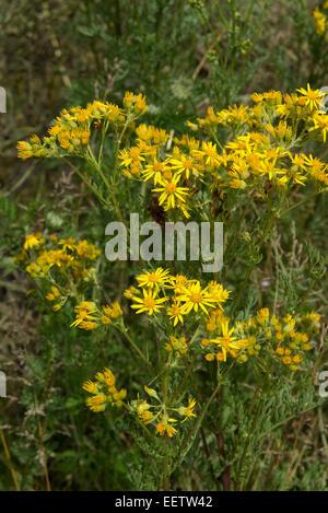 Ragwort, Jacobaea vulgaris or Senecio jacobaea, yellow flowers on this invasive grassland weed which is poisonous - Stock Photo