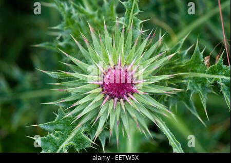 Flowering musk thistle, Carduus nutans, flower bud on plant in downland pasture, Berkshire, July - Stock Photo