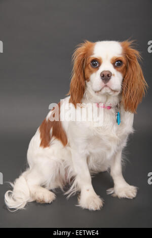 Mandy, a 10 month old Cavalier King Charles Spaniel studio portrait - Stock Photo