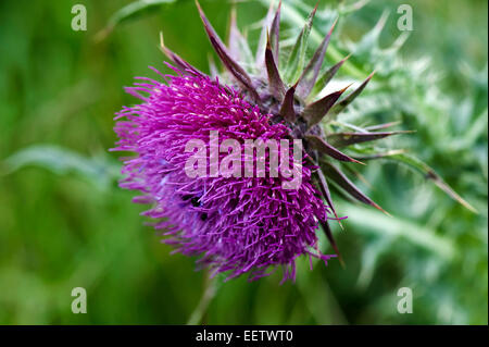 Flowering musk thistle, Carduus nutans, purple flower with flower beetles, Meligethes aeneus, on downland pasture, - Stock Photo