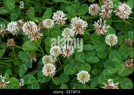 Flowering white clover, Trifolium repens, Berkshire, July - Stock Photo