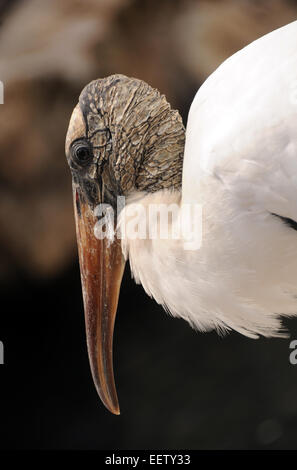 Wood stork commonly seen in the Florida Everglades - Stock Photo
