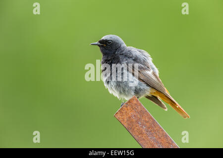 Male Black Redstart Phoenicurus ochruros sitting alert on rusty metal post with green diffuse background - Stock Photo