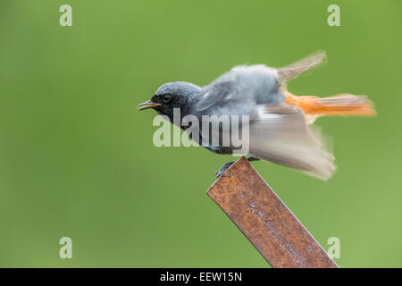 Male Black Redstart Phoenicurus ochruros sitting rulffing its feathers preening on rusty metal post with green solid - Stock Photo