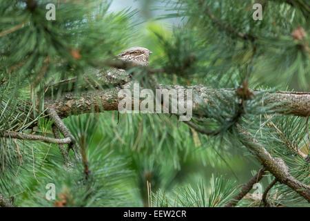 Single male European Nightjar Caprimulgus europaeus roosting within pine tree, Pusztaszer, Hungary, June, 2013. - Stock Photo
