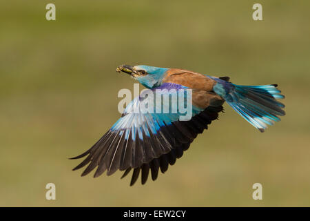 European Roller Coracias garrulus bringing food back to nest with wings outstretched flying - Stock Photo