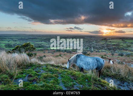 Moorland ponies grazing at sunset on Caradon Hill on Bodmin Moor in Cornwall - Stock Photo