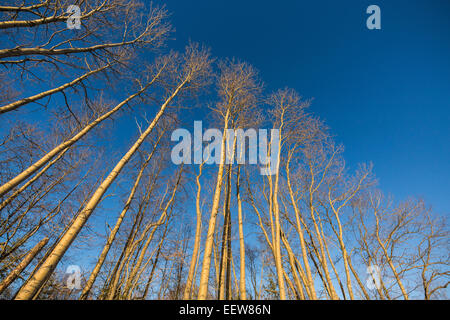 Bigtooth Aspen, Populus grandidentata, trees growing along a country road in Mecosta County near Stanwood, Michigan, - Stock Photo