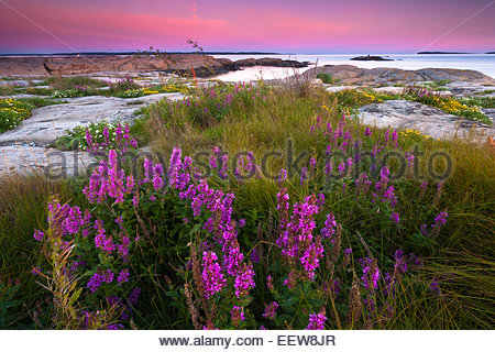 Beautiful Purple Loosestrife flowers, Lythrum salicaria, in evening light at Hvaler by the Oslofjord, Østfold fylke, - Stock Photo