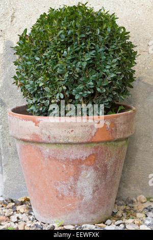Topiary Tree in an old terracotta pot - Stock Photo