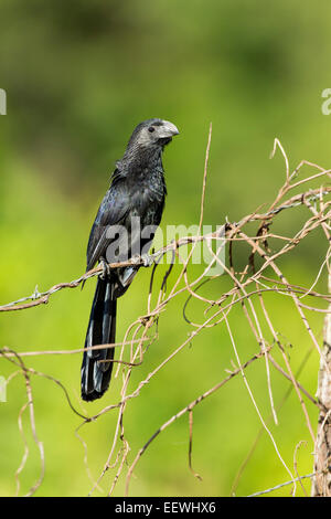 Groove-billed Ani Crotophaga sulcirostris perched on fence near Boca Tapada, Costa Rica, February, 2014. - Stock Photo